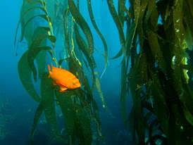 Adult Garibaldi in a stand of giant kelp.