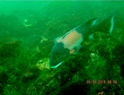 California Sheephead – Semicossyphus pulcher